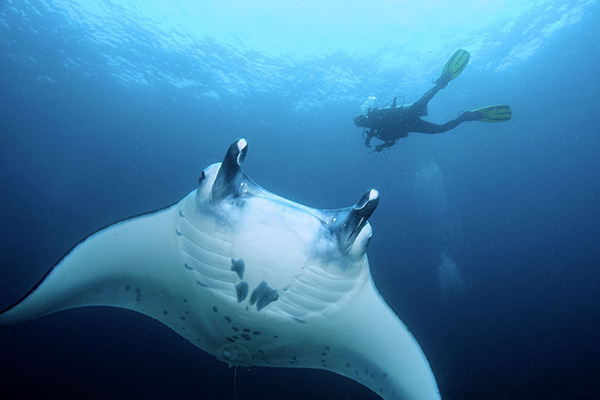 Bali Dive Site - Manta Point - See Manta Ray