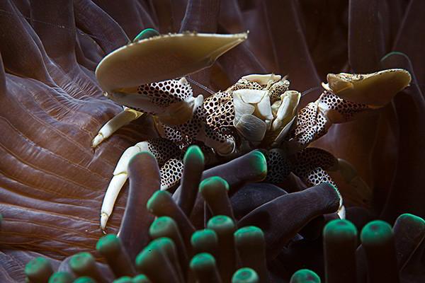 Bali Muck Dive Site - Porcelaine Crab